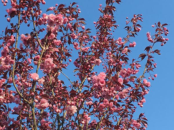 rosa Blueten