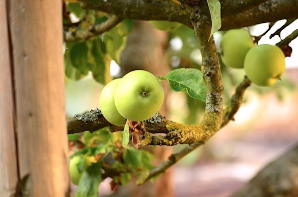Apfelbaum Bad Arolsen